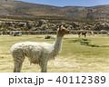 ウユニ塩湖 アルパカ 動物 リャマ 40112389