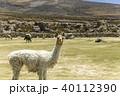 ウユニ塩湖 アルパカ 動物 リャマ 40112390