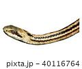 シマヘビの顔 40116764