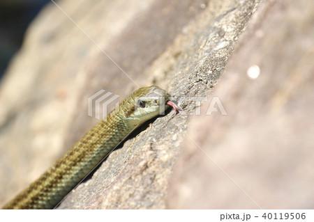 二つに裂けた赤い舌を出して獲物を探すヘビ 40119506