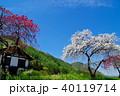花 花桃 桃の写真 40119714