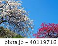 花 花桃 桃の写真 40119716