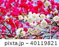花 花桃 桃の花の写真 40119821