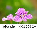 植物 花 花菖蒲の写真 40120610