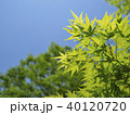 新緑 葉 初夏の写真 40120720