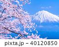 富士山 桜 満開の写真 40120850