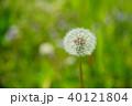 野原のタンポポ2 40121804