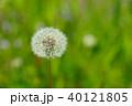 野原のタンポポ3 40121805