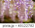 輝く春日大社の藤1 40122782