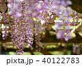 輝く春日大社の藤2 40122783