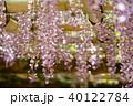 輝く春日大社の藤3 40122784