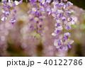 輝く春日大社の藤5 40122786