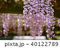 輝く春日大社の藤8 40122789