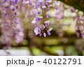 輝く春日大社の藤10 40122791