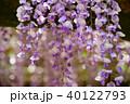 輝く春日大社の藤12 40122793