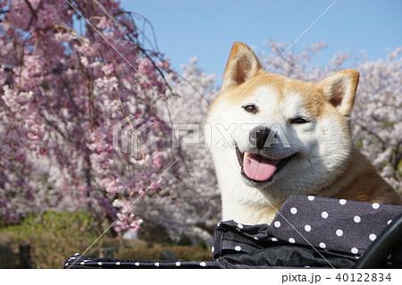 桜と柴犬 40122834