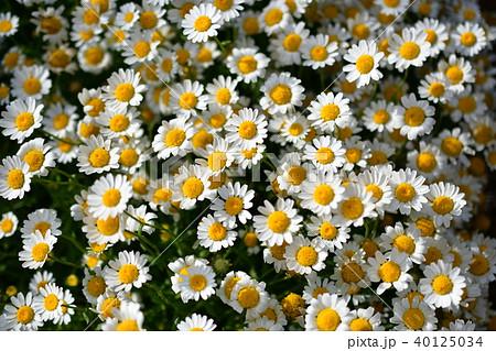 春の花(小菊) 40125034