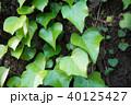 ツタ 葉 葉っぱの写真 40125427