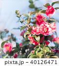 八重咲きの赤い椿 40126471