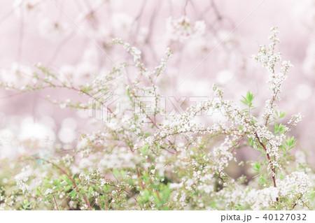 雪柳と桜 40127032