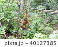 野生の子供オランウータン 40127385