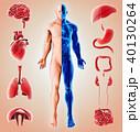 臓器 人体 解剖学のイラスト 40130264