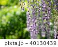花 藤 植物の写真 40130439
