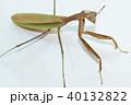 カマキリ 蟷螂 オオカマキリの写真 40132822