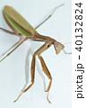 カマキリ 蟷螂 オオカマキリの写真 40132824