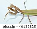 カマキリ 蟷螂 オオカマキリの写真 40132825