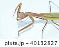 カマキリ 蟷螂 オオカマキリの写真 40132827