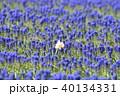 ムスカリ 水仙 花の写真 40134331