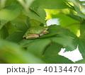 カエル 蛙 二ホンアマガエルの写真 40134470