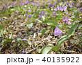 カタクリ 花 山野草の写真 40135922