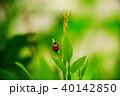 紅娘 てんとうむし てんとう虫の写真 40142850