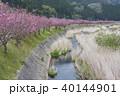 桜並木 古殿桜街道 春の写真 40144901