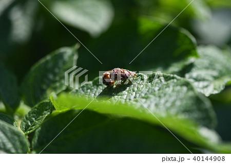 テントウ虫の交尾 40144908