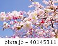 花 花桃 桃の花の写真 40145311