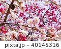 花 花桃 桃の花の写真 40145316