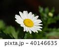 ノースポール 花 クリサンセマムの写真 40146635