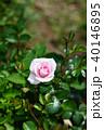 ミニバラ ピンク バラの写真 40146895