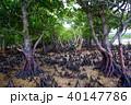 マングローブ 木 植物の写真 40147786
