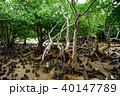 マングローブ 木 植物の写真 40147789