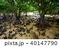 マングローブ 木 植物の写真 40147790