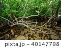 マングローブ 木 植物の写真 40147798