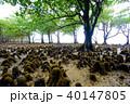 マングローブ 木 植物の写真 40147805