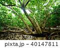 マングローブ 木 植物の写真 40147811