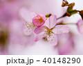 桜 花 ピンクの写真 40148290