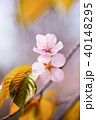 桜 花 ピンクの写真 40148295