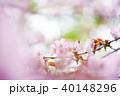 桜 花 ピンクの写真 40148296